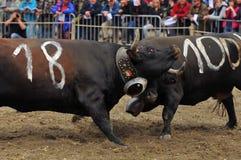 母牛战斗 图库摄影