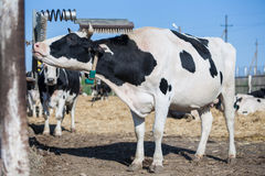 母牛抓她的题头 库存图片