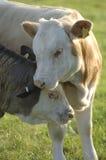 母牛拥抱 图库摄影