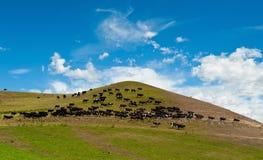 母牛按照领导先锋 图库摄影