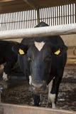 母牛挤奶流洒的等待的乳牛场场主 免版税图库摄影