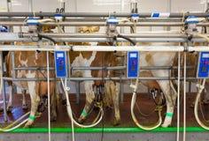 母牛挤奶设备在农场 库存照片