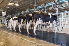 母牛挤奶设备,奶牛 库存照片