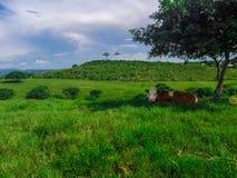 母牛放松 图库摄影