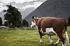 母牛新的走的西兰 图库摄影