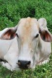 母牛是一说谎的一个 免版税库存图片
