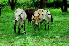 母牛是动物 免版税库存图片