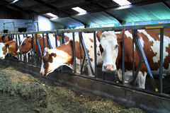母牛是真正的牲口 免版税库存照片