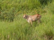 母牛是站立和吃草在晚上 图库摄影