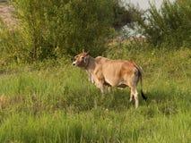 母牛是站立和吃草在晚上 库存照片