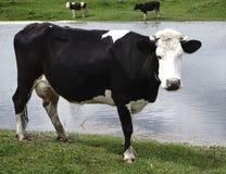 母牛有看法他是 免版税库存照片