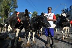 母牛村庄在Boyolali,印度尼西亚 免版税库存照片