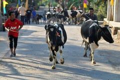 母牛村庄在Boyolali,印度尼西亚 免版税库存图片