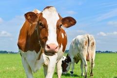 母牛查出的白色 免版税库存照片
