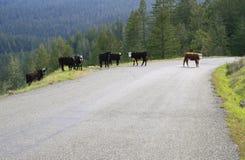 母牛横穿路 免版税库存图片