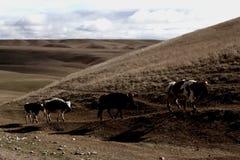 母牛步行 图库摄影