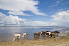 母牛浇灌 库存照片