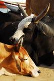 母牛爱 免版税库存图片