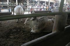 母牛牛和笼子 库存照片