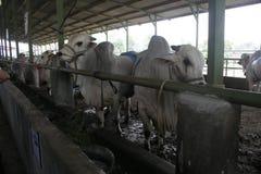 母牛牛和笼子 库存图片
