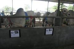 母牛牛和笼子 免版税库存图片