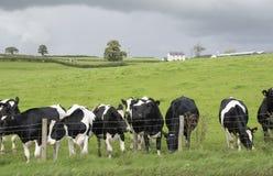 母牛牛奶店牧场地 免版税库存图片