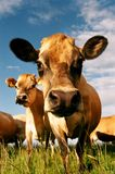 母牛牛奶店表面 免版税库存照片