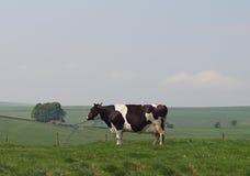 母牛牛奶店黑白花牛草甸山地 免版税图库摄影