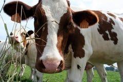 母牛牛奶店 免版税库存图片