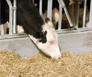 母牛牛奶店 图库摄影