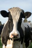 母牛牛奶店 免版税库存照片