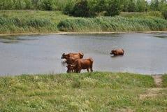 母牛牧场地夏天 免版税库存照片