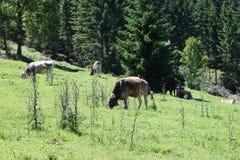 母牛牧场地 免版税库存照片
