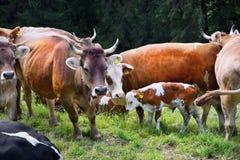 母牛牧场地 库存图片