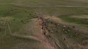母牛牧群和牧羊人去吃草 r 影视素材