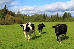 母牛牧群在一个绿色领域的在晴天 免版税库存图片