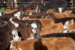 母牛牧群在农场的在晴天 库存照片