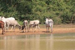母牛牧群在加纳 库存照片