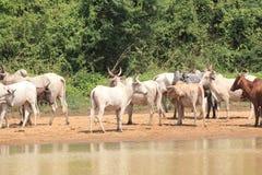 母牛牧群在加纳 免版税库存照片