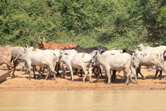 母牛牧群在加纳 免版税库存图片