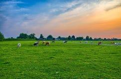 母牛牧群在夏天绿色领域的在列日,比利时,比荷卢三国附近, 库存照片
