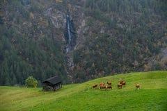 母牛牧群在山牧场地的在阿尔卑斯 免版税库存图片