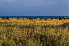 母牛牧群在沙漠 库存图片