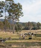 母牛牧群在澳大利亚牛驻地的 免版税库存图片