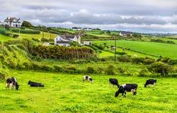 母牛牧群在牧场地在安特里姆郡 免版税库存照片
