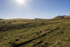 母牛牧群在牧场地的日落的 免版税库存图片