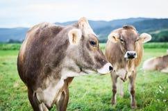 母牛牧群在牧场地的 库存图片