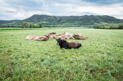 母牛牧群在牧场地的 库存照片