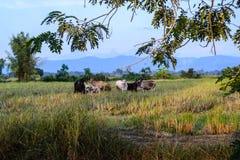 母牛牧群在牧场地 免版税库存照片
