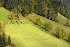 母牛牧群在白云岩,欧洲阿尔卑斯,意大利的 免版税库存图片